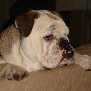 Maña. Corrección de conducta y Educación canina cívica